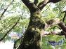 창원 신방리 음나무군(천연기념물 제164호)