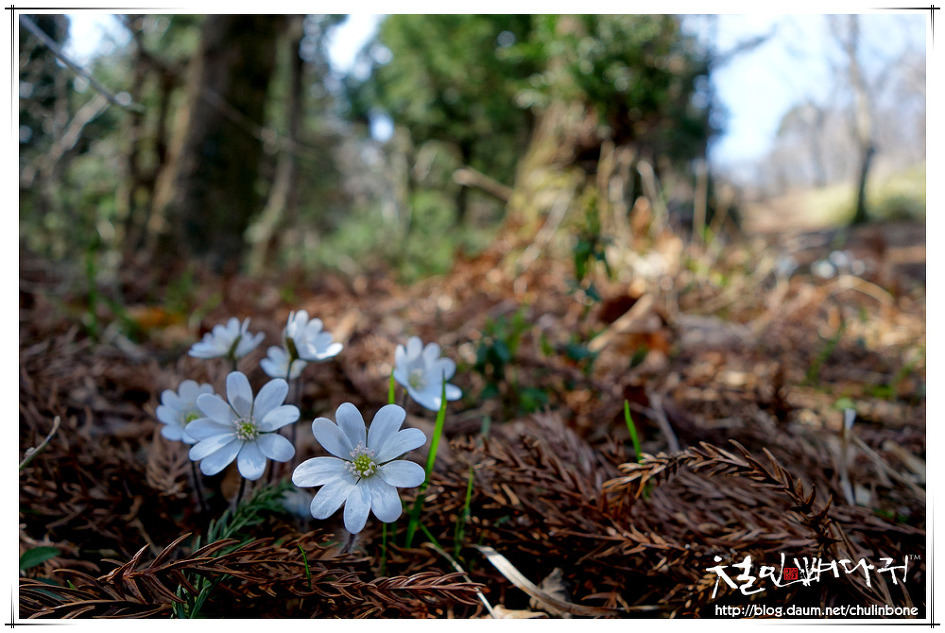 힌 노루귀꽃